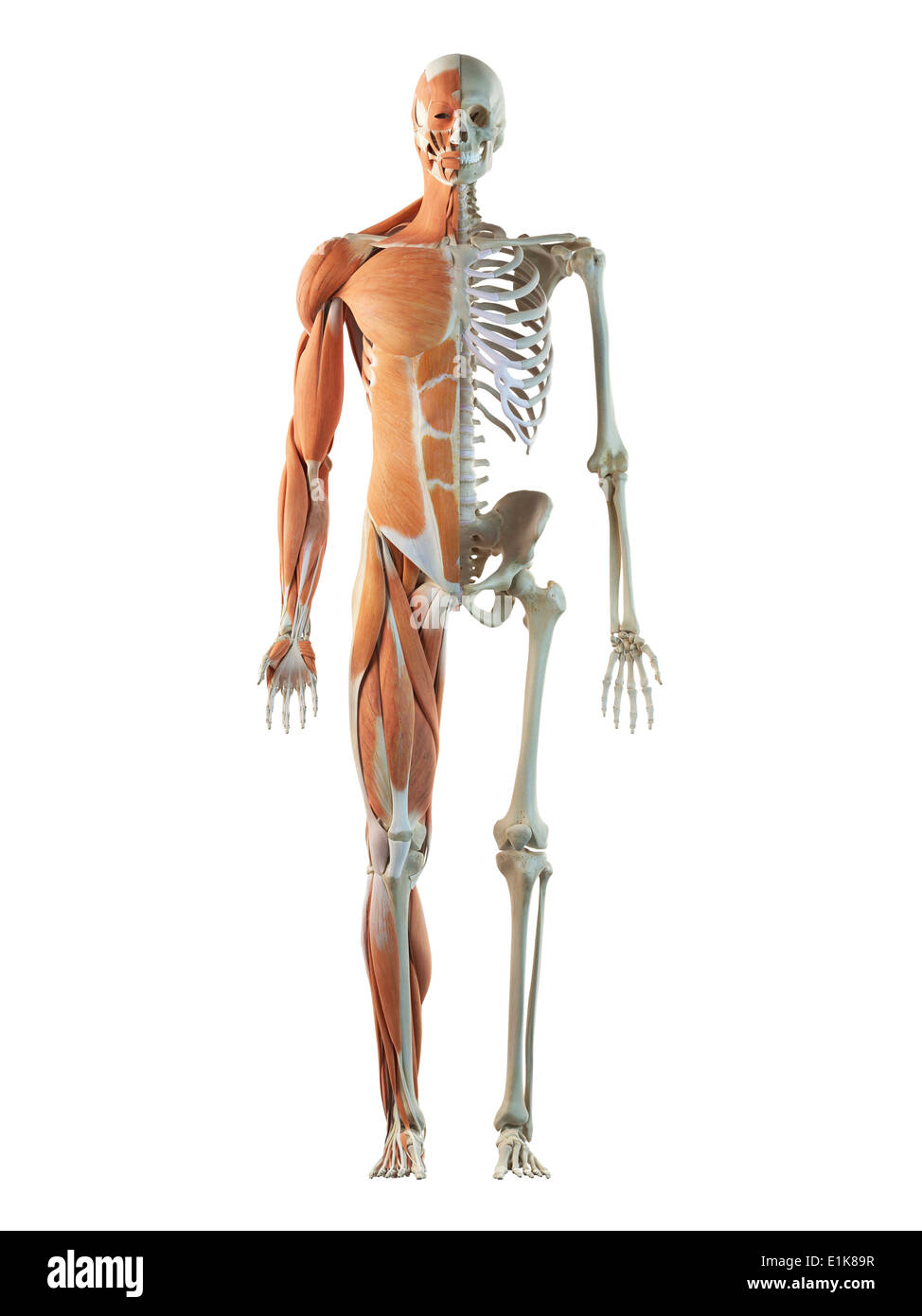 human musculoskeletal system cut away computer artwork stock photo, Muscles