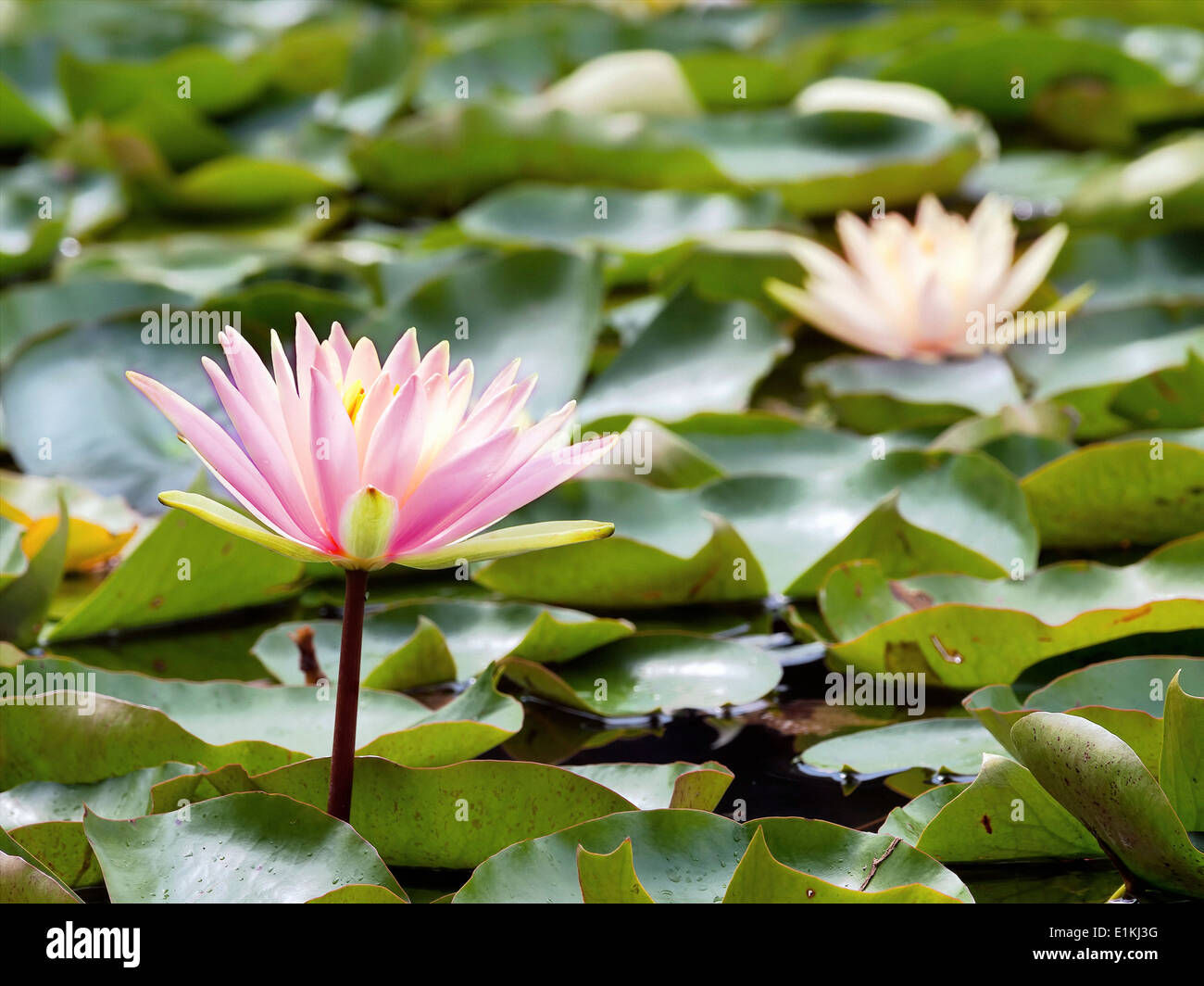 Water lily flowers and lilypads in a pond stock photo royalty free water lily flowers and lilypads in a pond izmirmasajfo