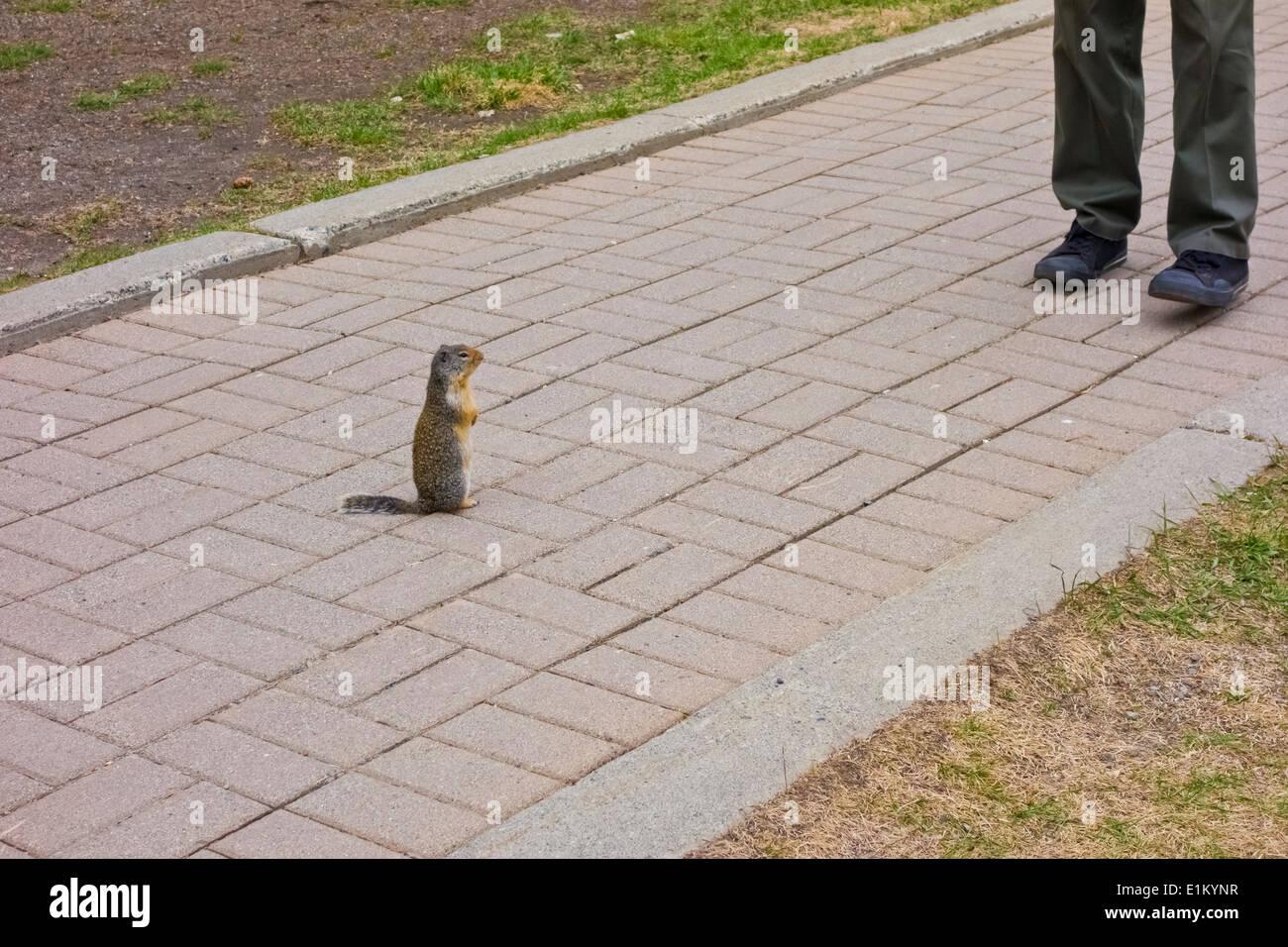 columbian-ground-squirrel-urocitellus-co