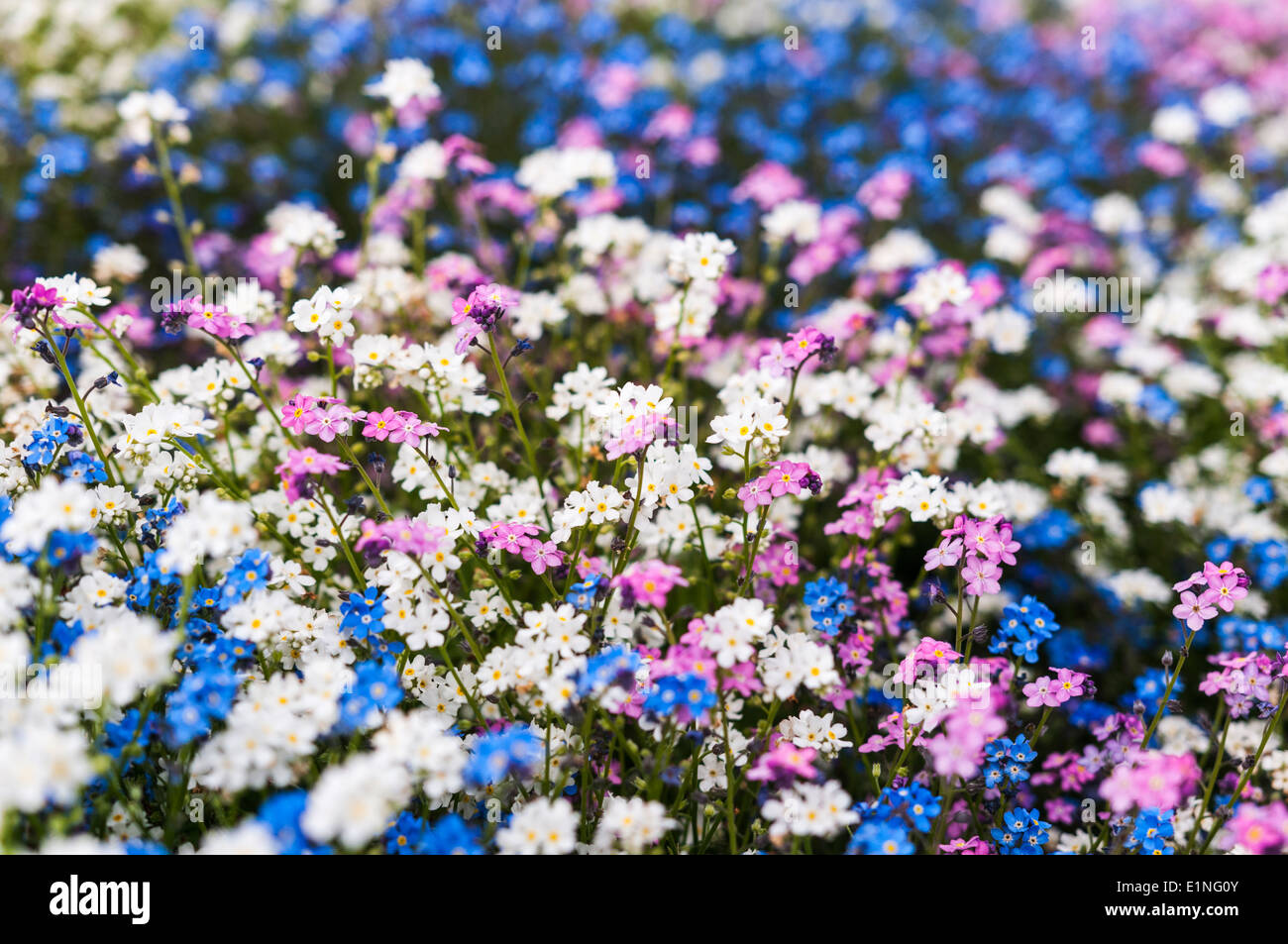 Pink Forget Me Not Flower