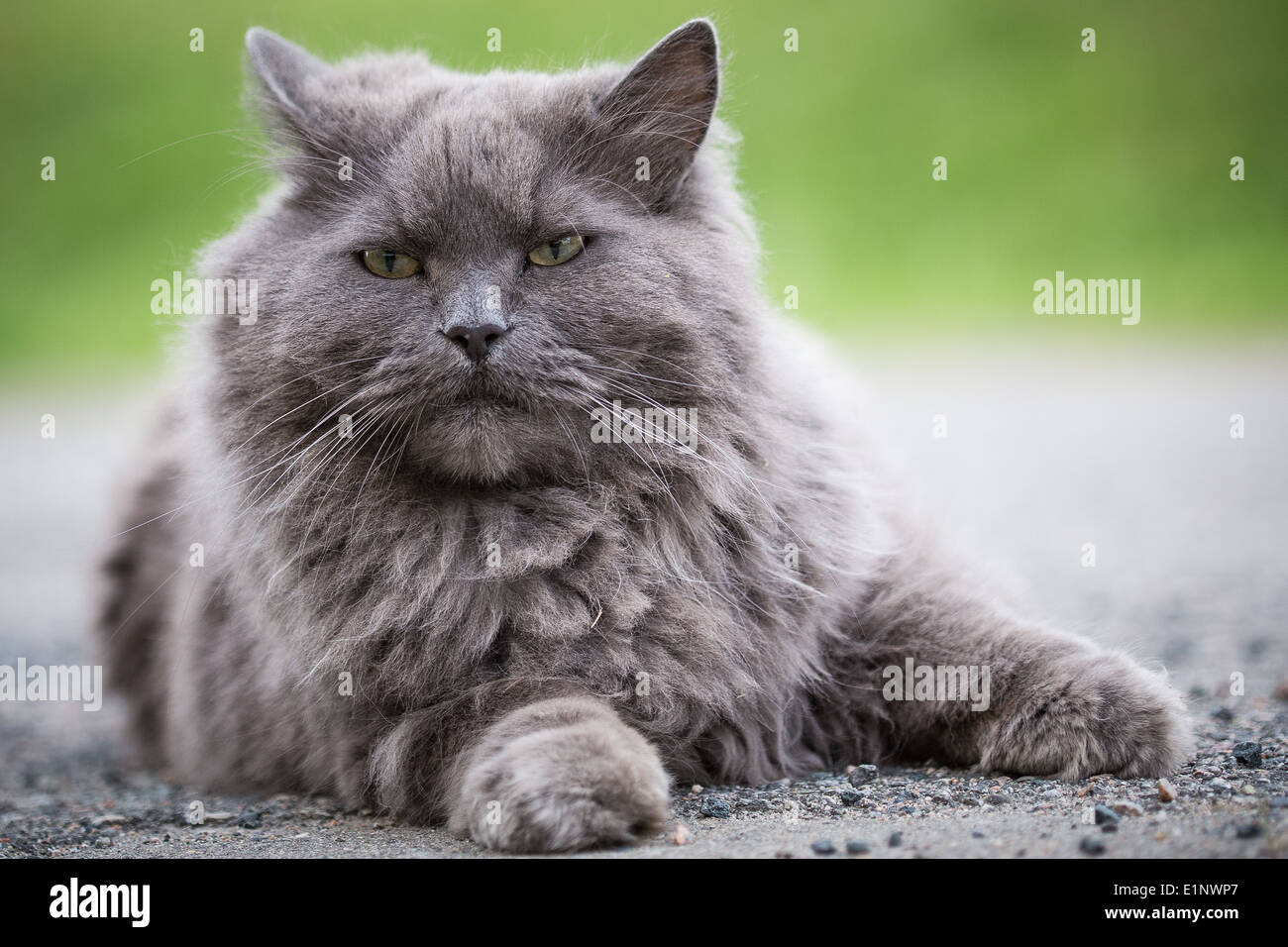 A half persian cat lying on the ground Stock Royalty Free