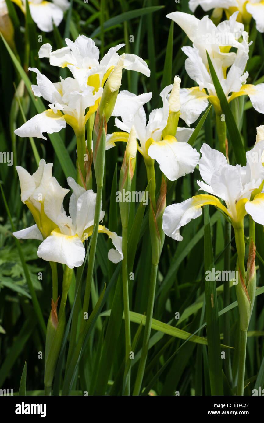White and yellow flowers of the Siberian Iris, Iris ...