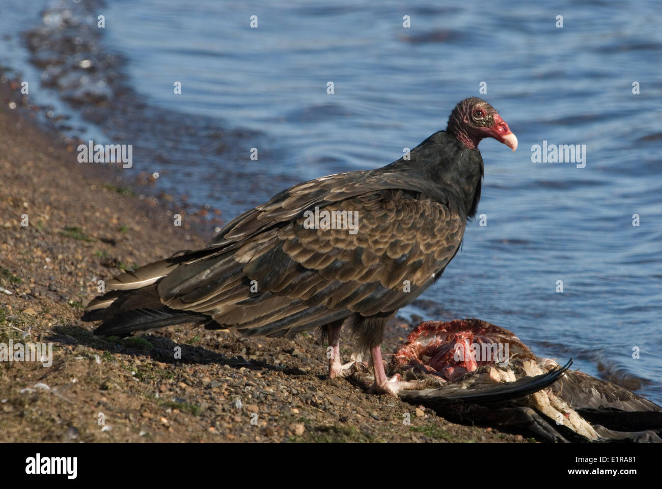 A Turkey Vulture eating of the carcass of a Canada Goose ...