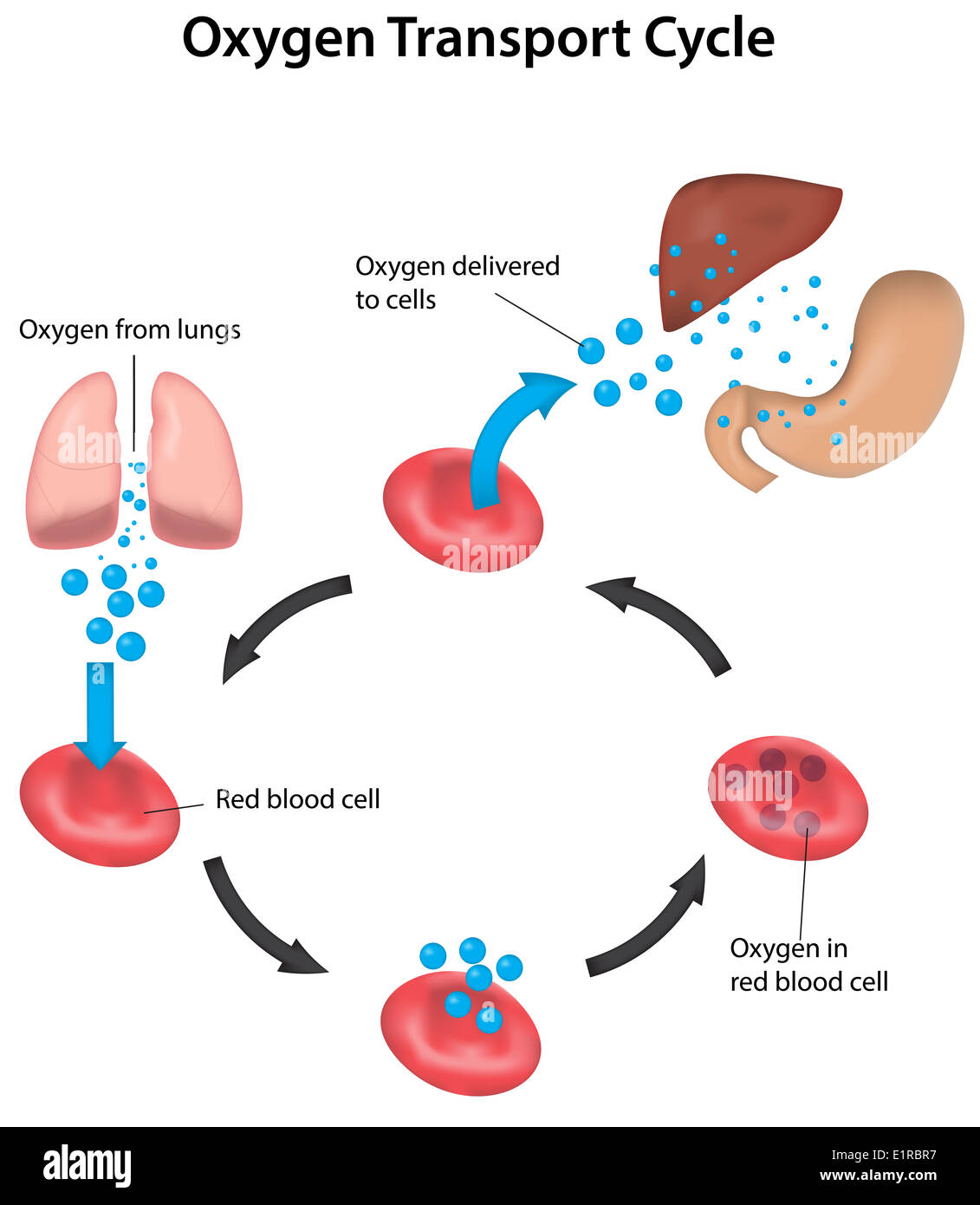 oxygen and c d cell Hemoglobin's oxygen affinity is relatively weak compared to myoglobin  a disease that affects many individuals's hemoglobin funtionalities is sickle cell.