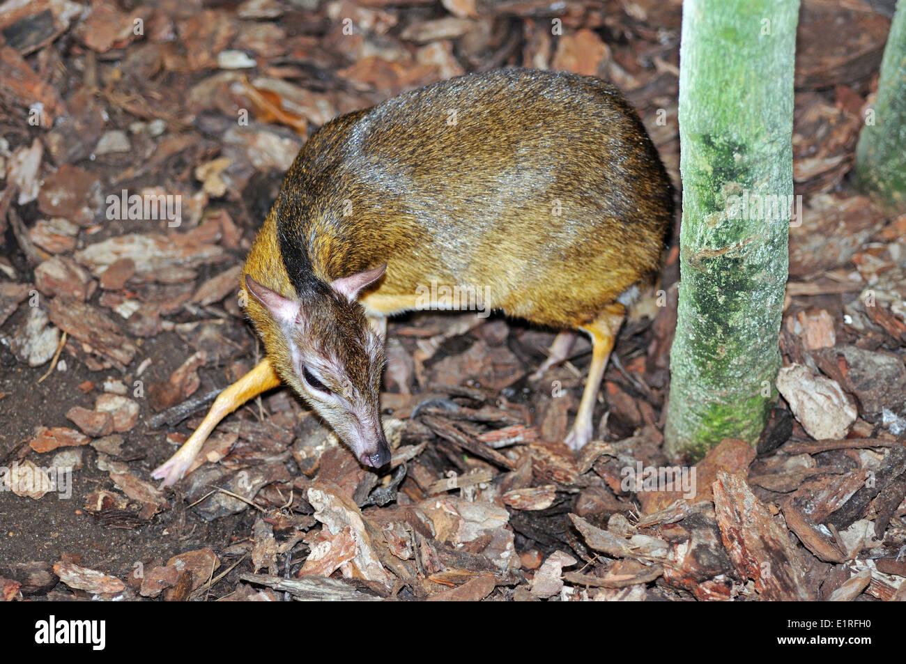 chevrotain tragulidae stock photo royalty free image