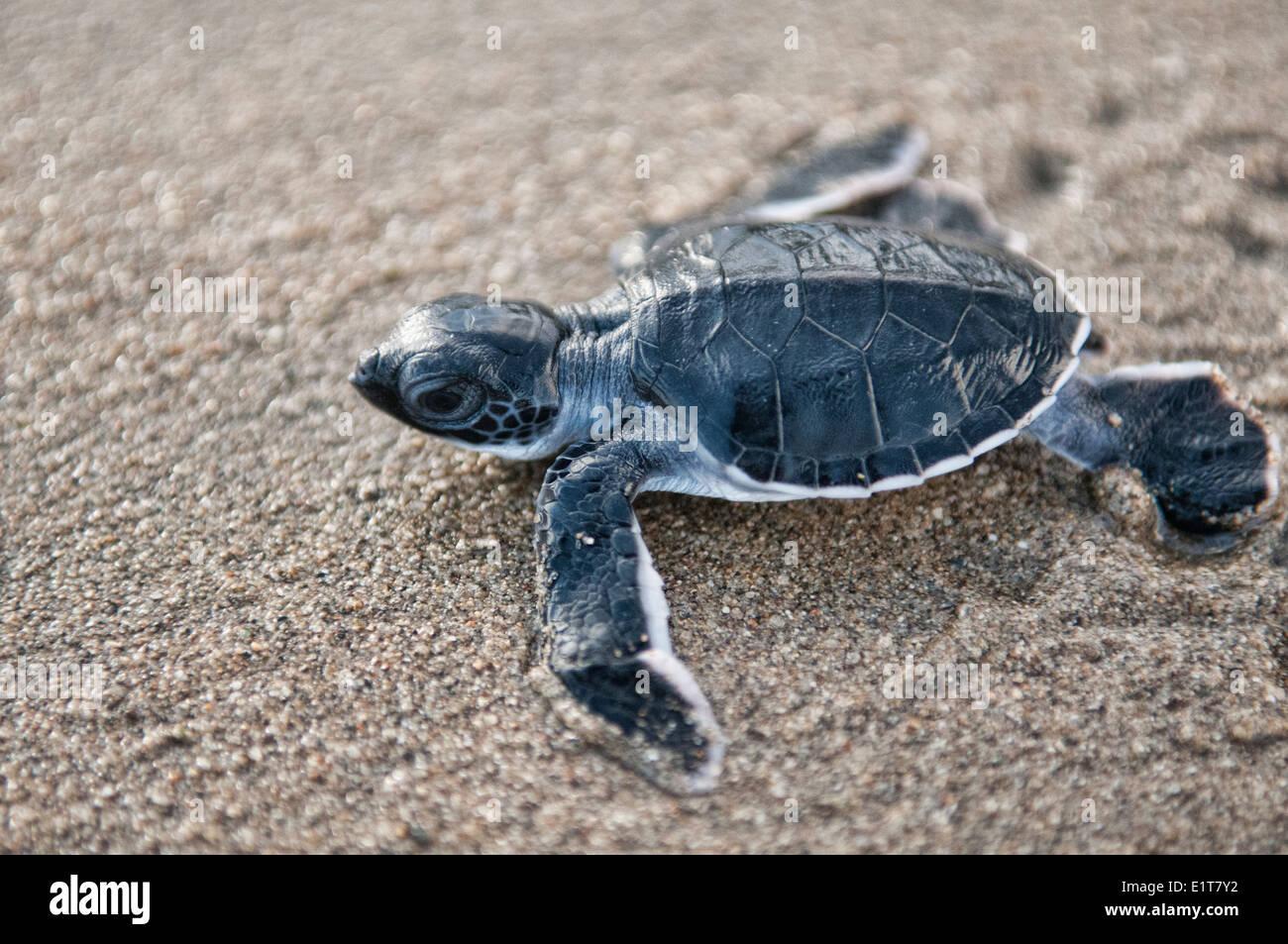 baby green turtle (Chelonia mydas) makes its way to sea ... - photo#10