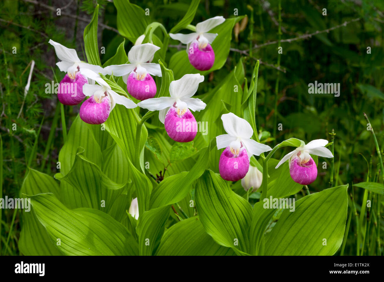 Showy Lady Slipper Cypripedium reginae Orchid Wildflower Stock Roy