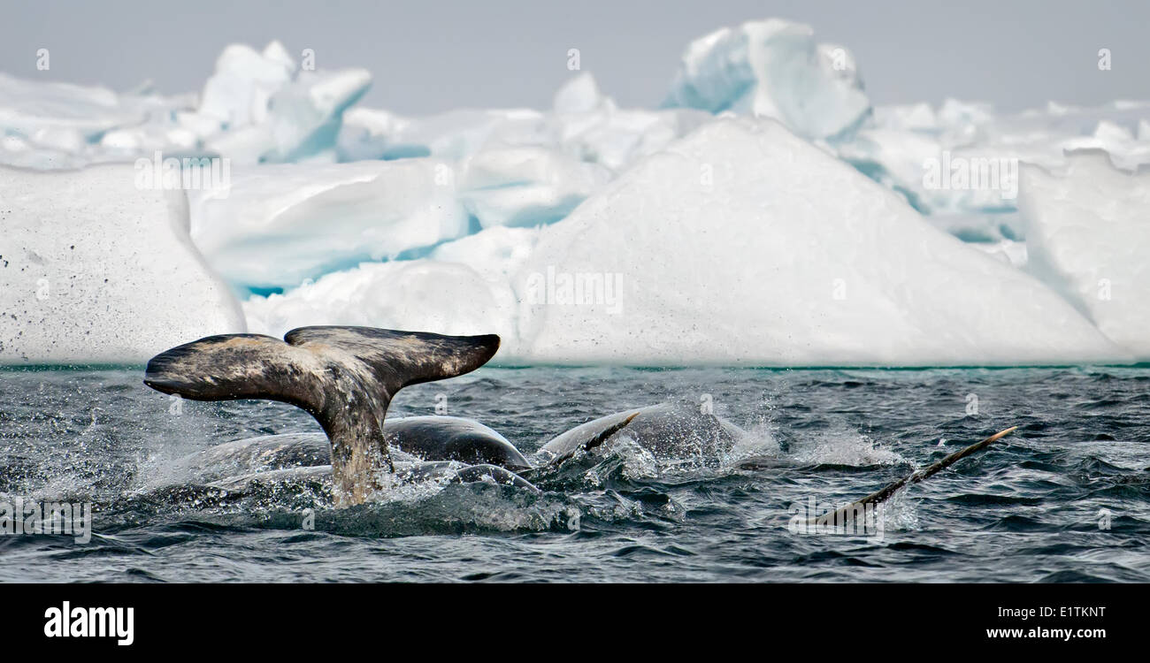 pod of narwhal monodon monoceros surfacing and tail slapping