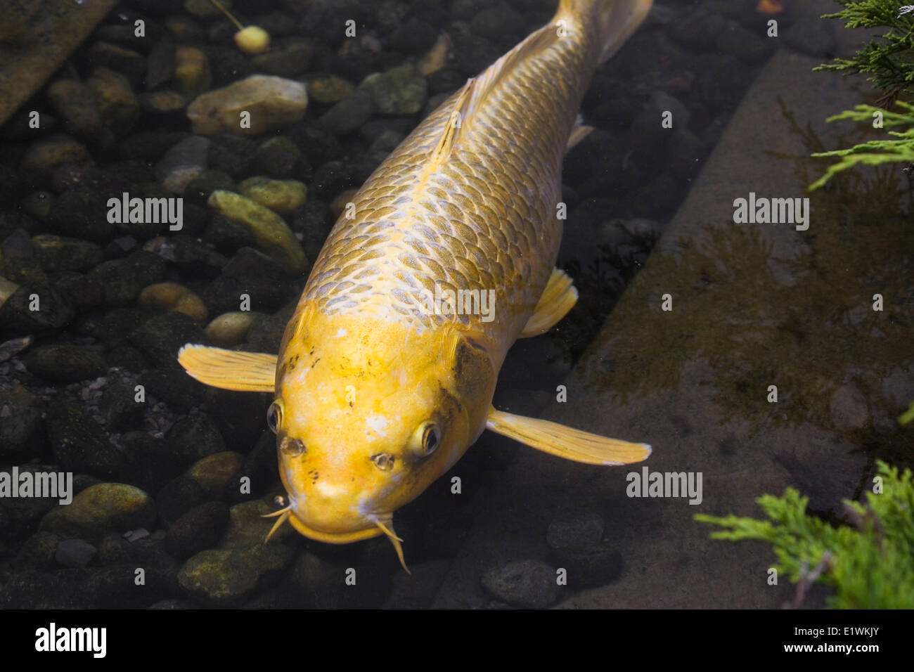 Close Up Of A Golden Yellow Japanese Koi Fish In A Pond Montreal Stock Photo Royalty Free