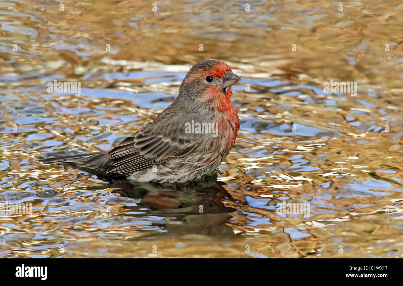 house finch carpodacus mexicanus a male bird bathing in a