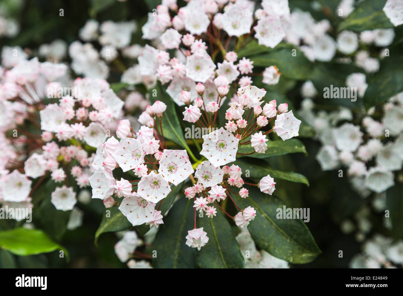 Flowers Of Kalmia Latifolia, Mountainlaurel, Calicobush, Or Spoonwood,  State Flower Of Connecticut And Pennsylvania
