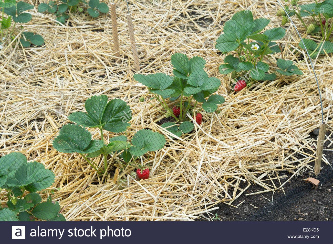 Protective Netting over Strawberry plants with ripe strawberries ...