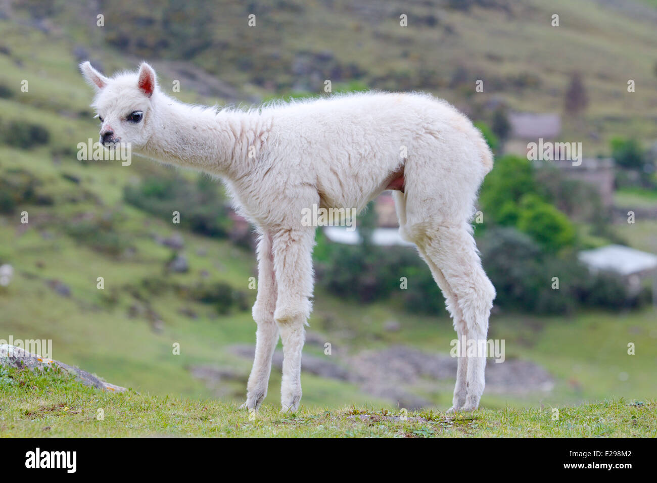 fluffy baby alpaca in the andes in peru stock photo