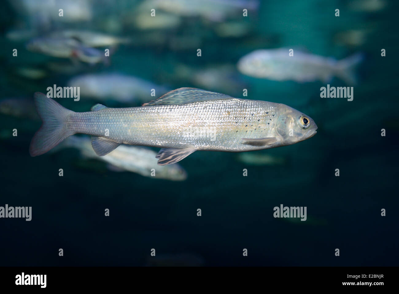 Fish aquarium in downtown toronto - Arctic Grayling Cold Freshwater Fish Swimming Underwater In Ripleys Aquarium Toronto Stock Image