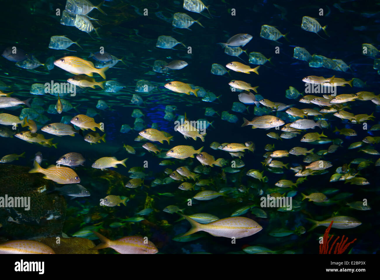 Fish in ripleys aquarium - Schools Or Shoals Of French Grunt Yellowtail And Bluestripe Snappers With Silver Lookdown Fish In Ripleys Aquarium Toronto