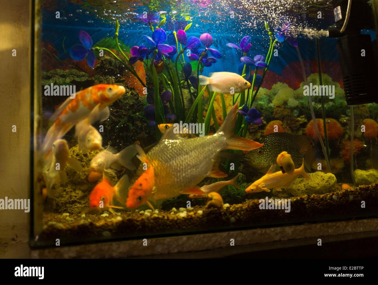 Fish in new aquarium - Fish Swim In A Fresh Water Aquarium In New Delhi India