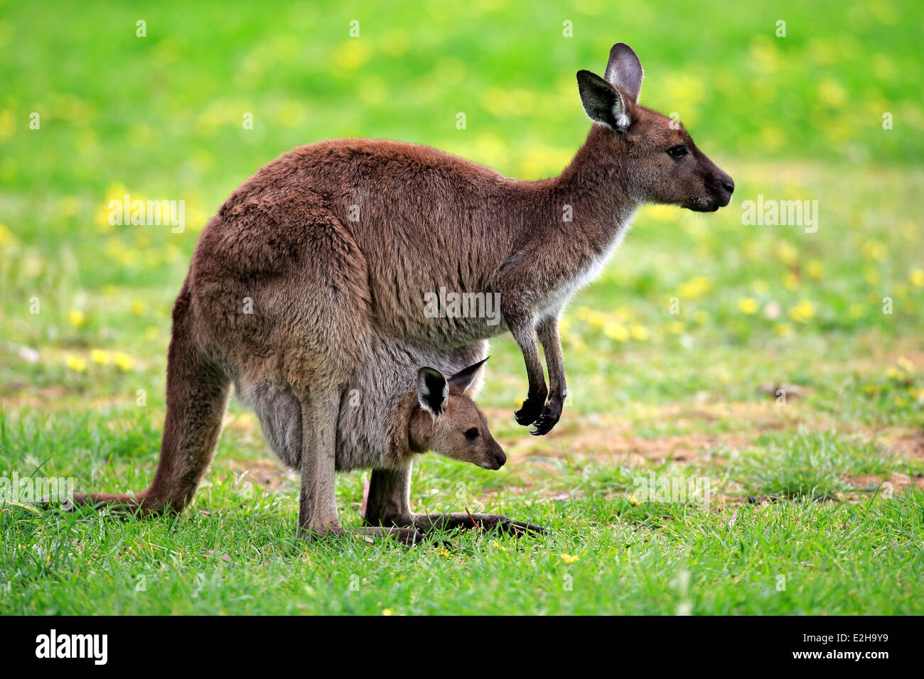 kangaroo and feature female kangaroos Beginning at the age of 15 months, the female kangaroo (flyer) gives birth to a  tiny,  so prolific are kangaroos in fact that, despite being revered as a symbol of   that kangaroo meat features heavily on australian restaurant menus in every.
