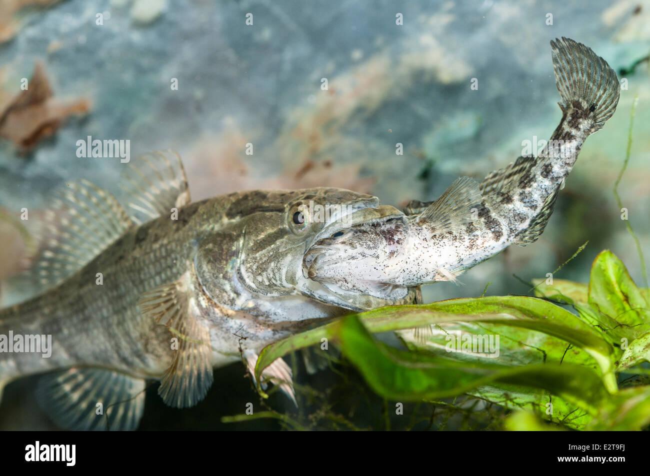 Predatory fish Chinese sleeper Percottus glenii eating ...
