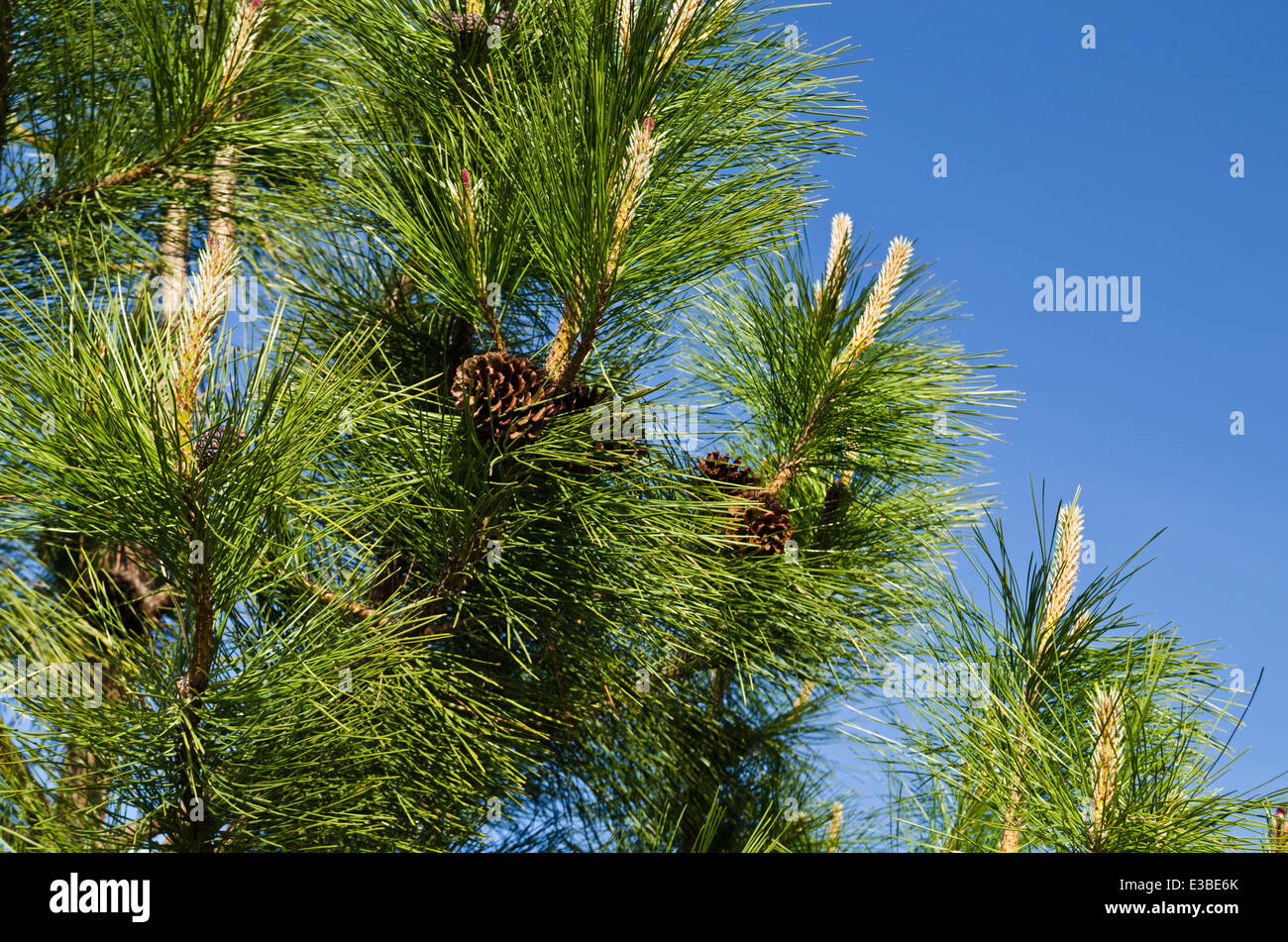 ponderosa pine tree branch images galleries with a bite. Black Bedroom Furniture Sets. Home Design Ideas