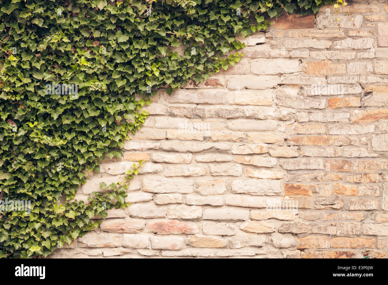 Climbing vines for walls - Ivy Vines Climbing Up Old Rustic Stone Wall Stock Image