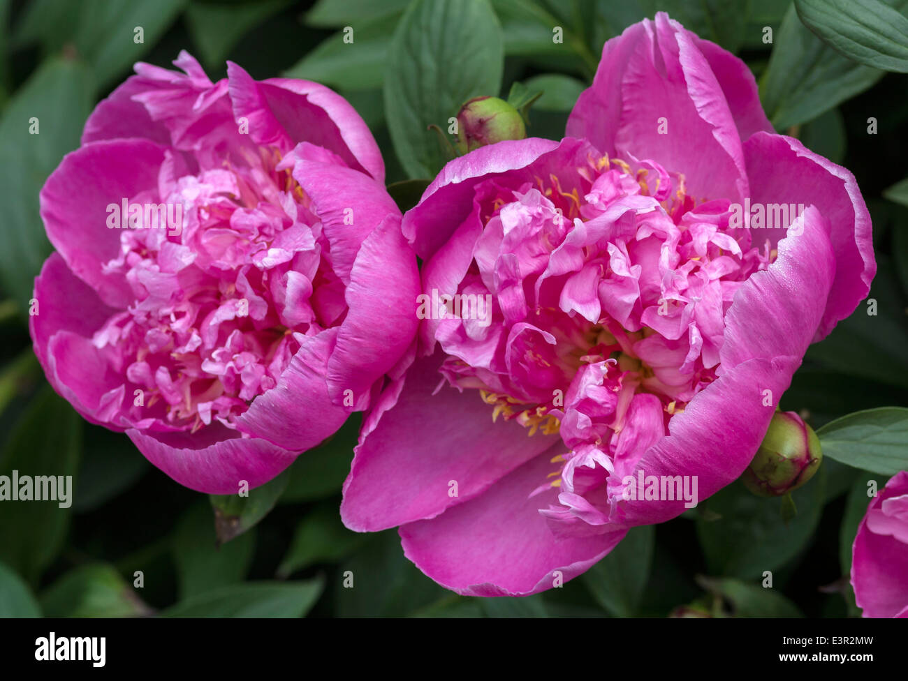 Two pink peony flowers close up peonia stock photo royalty free stock photo two pink peony flowers close up peonia dhlflorist Images