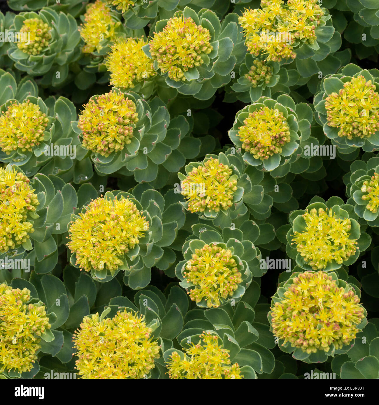 Yellow flowering Rhodiola rosea Roseroot plant growing on rocky