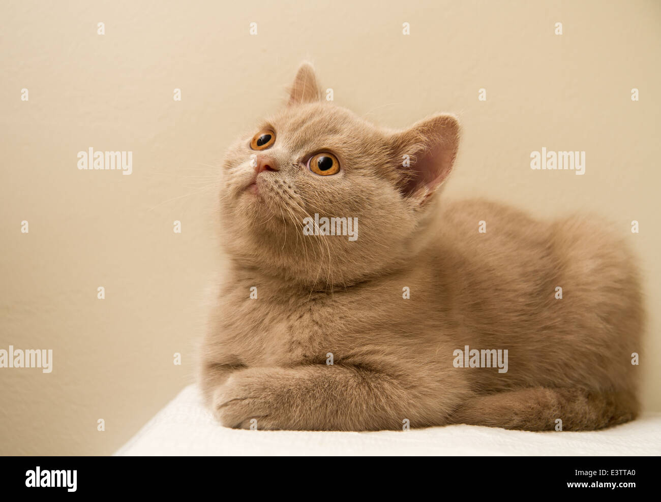 A Fawn British Shorthair Kitten Stock Royalty Free Image