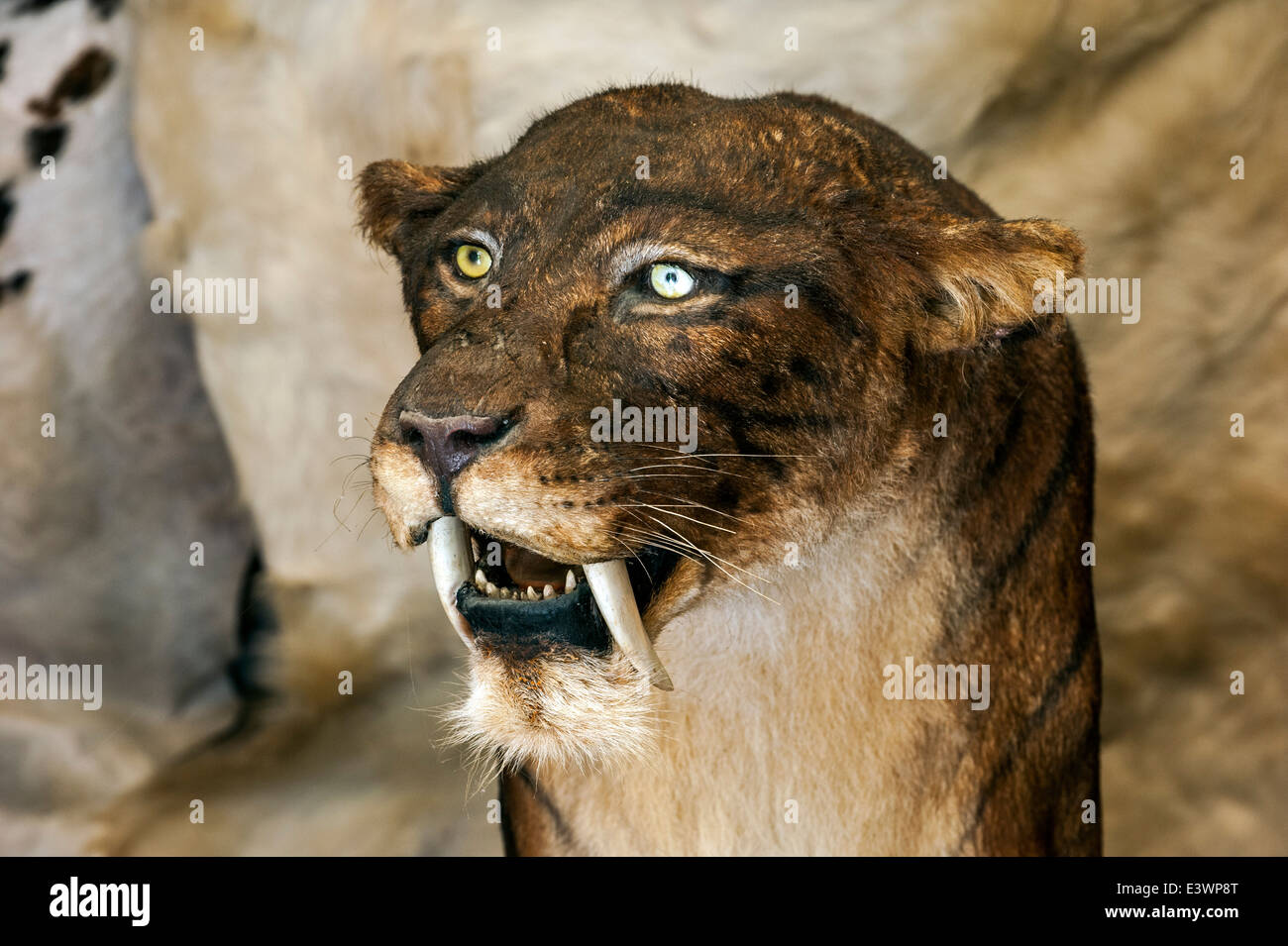 extinct smilodon Saber-toothed cats apparently did not go extinct for lack of prey, contradicting a popular explanation for why they died off, fossil evidence now suggests.