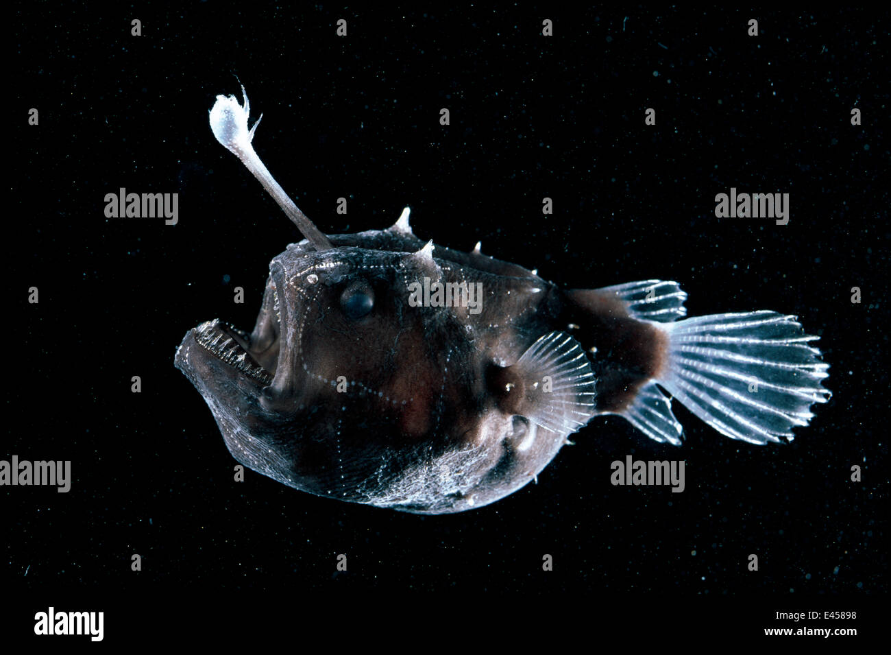 Deep sea anglerfish himantolophus sp female with lure for Where do angler fish live