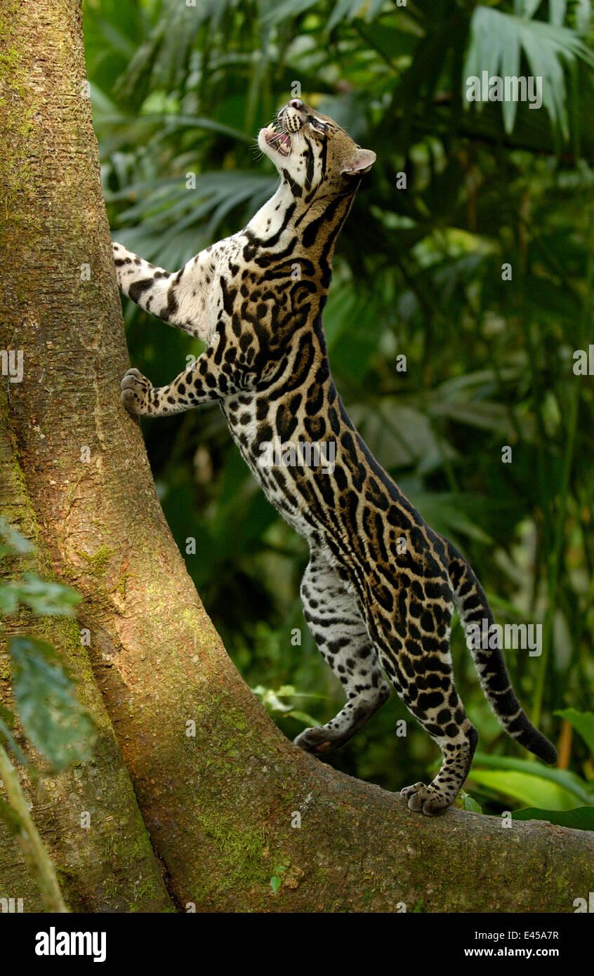 Amazon rainforest ocelot - photo#43