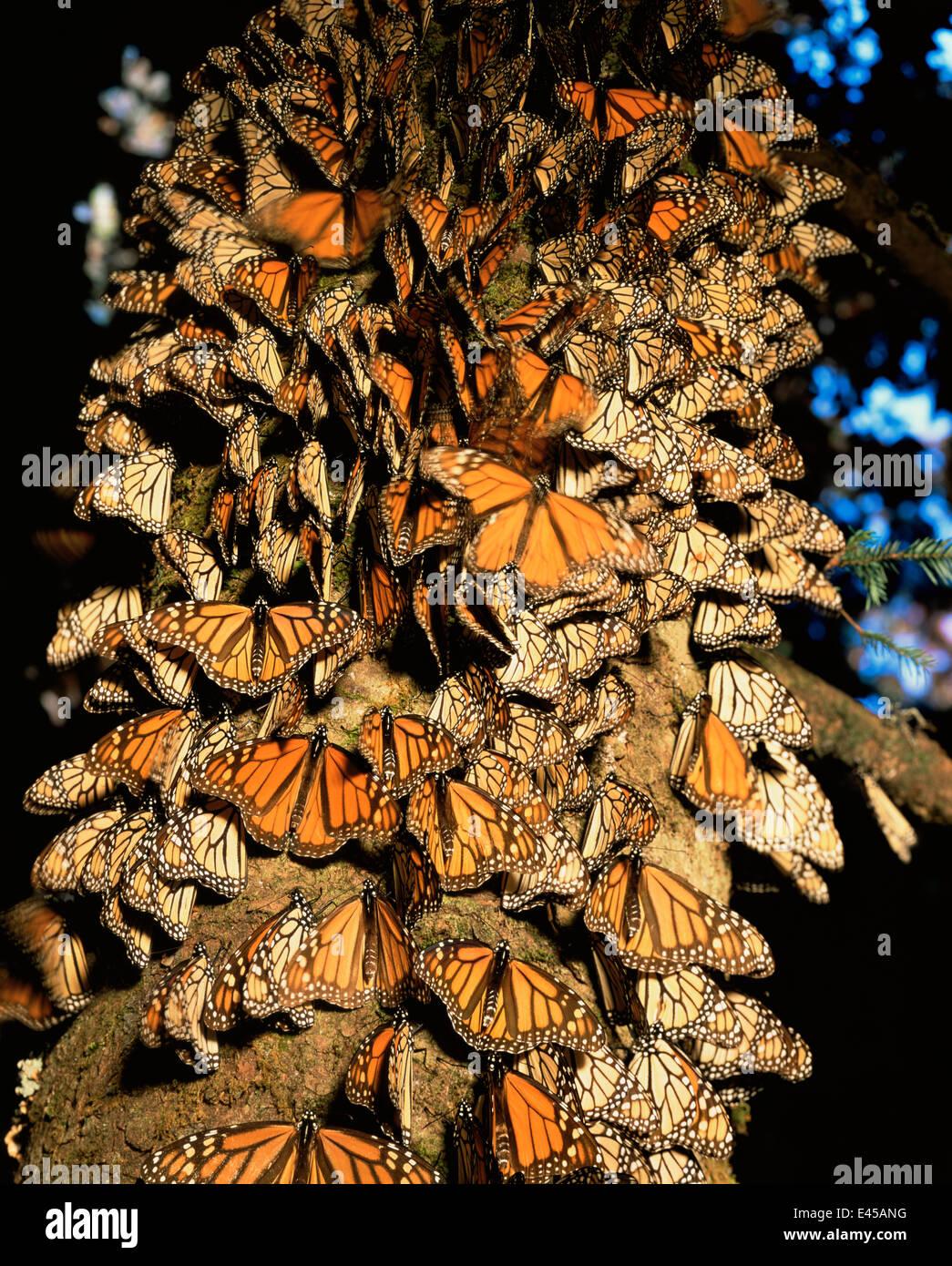 monarch butterflies danaus plexippus covering the trunk of a