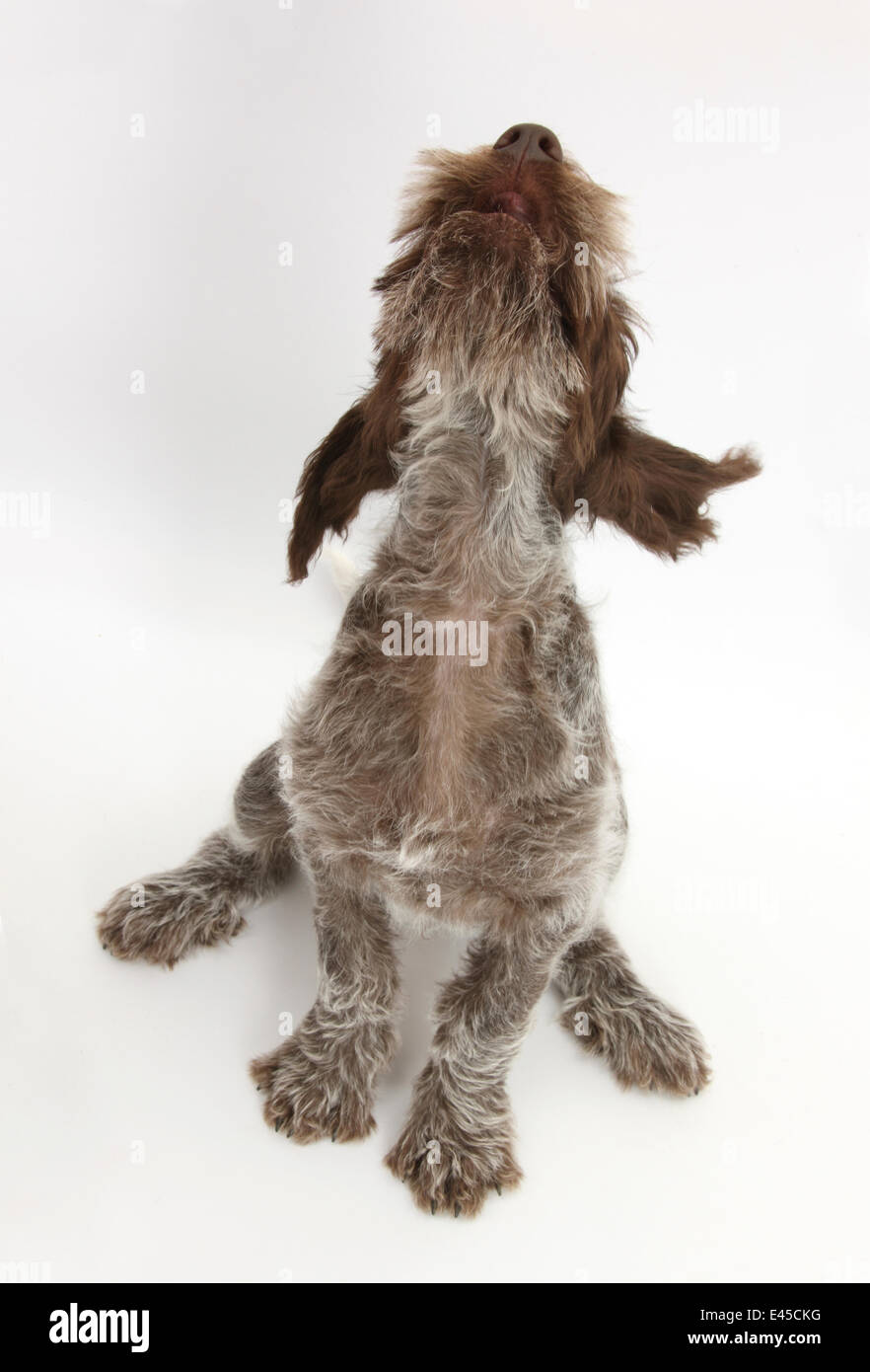 Image of italian spinone brown roan young puppy blue sitting cute - Brown Roan Italian Spinone Puppy Riley 13 Weeks Sitting Looking Up Stock