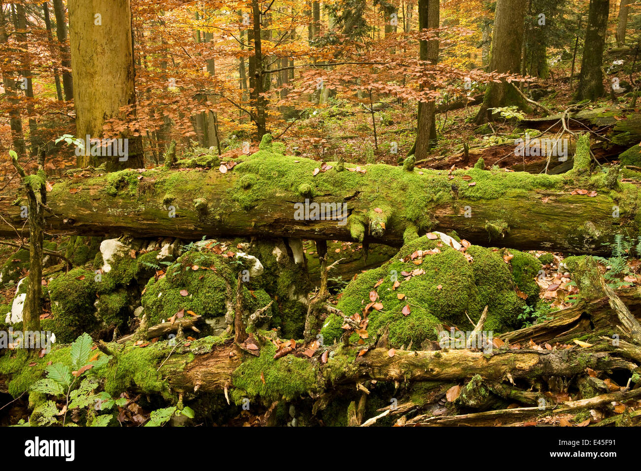 Corkova Uvala, virgin forest with Silver fir (Abies alba ...