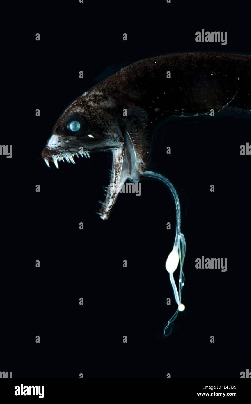 Deep sea black dragonfish
