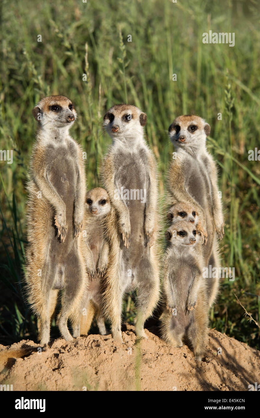 Meerkat Family Group Free Stock Photo - Public Domain Pictures