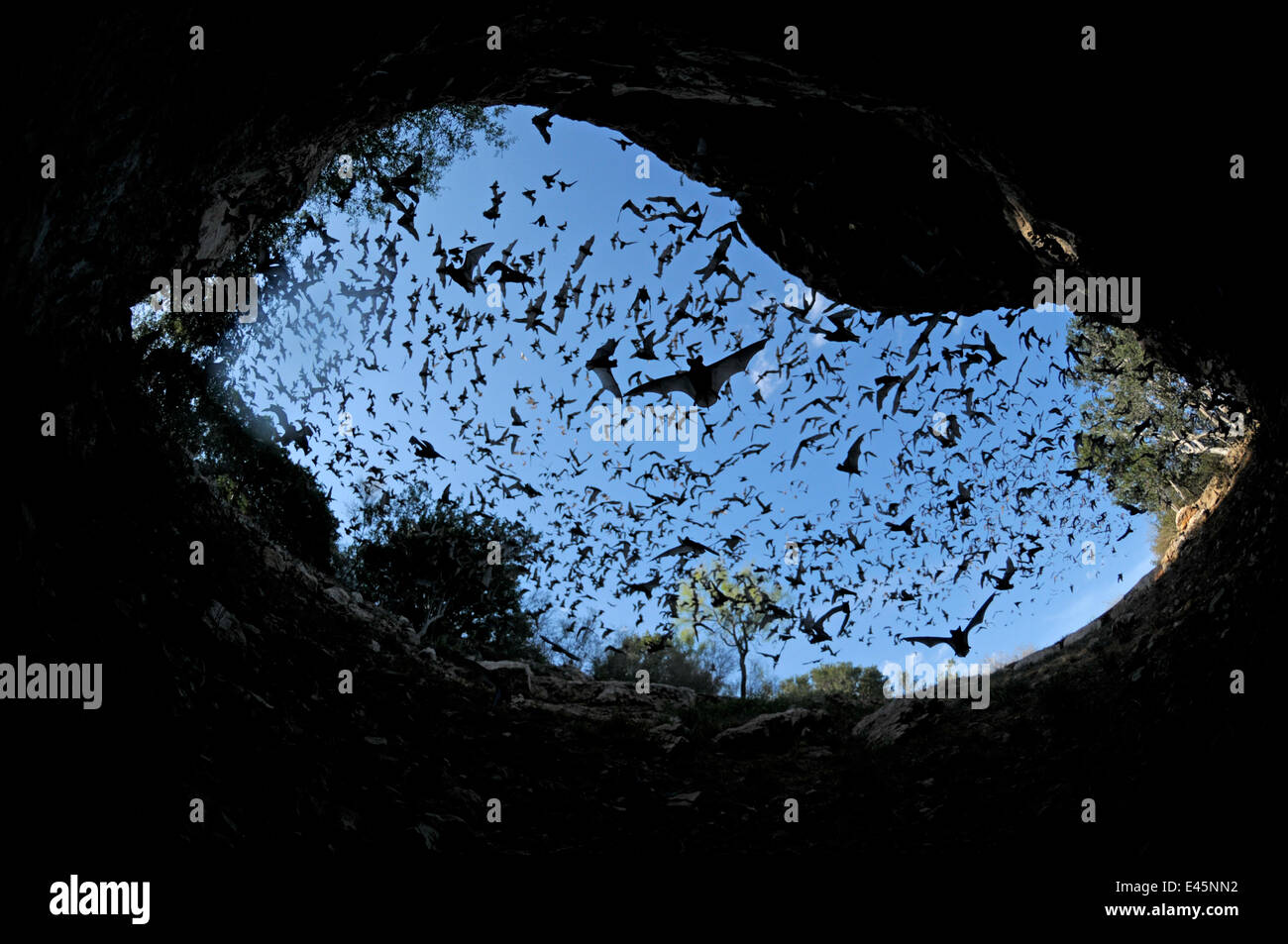mexican free tailed bats stock photos u0026 mexican free tailed bats