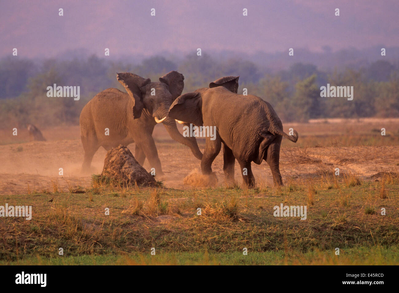 african elephant (loxodonta africana) bulls in dominance fight