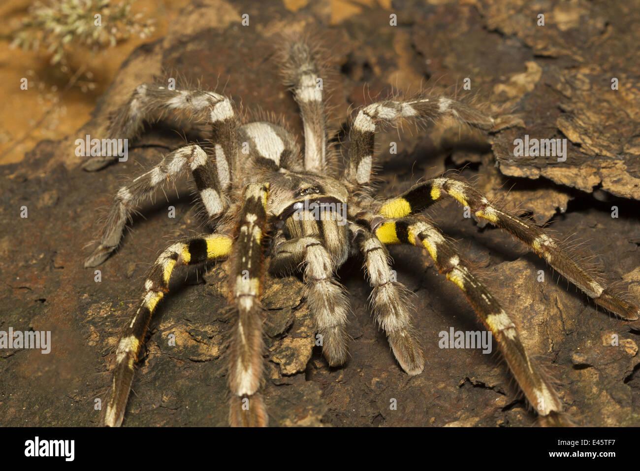 indian ornamental tarantula poecilotheria regalis rare