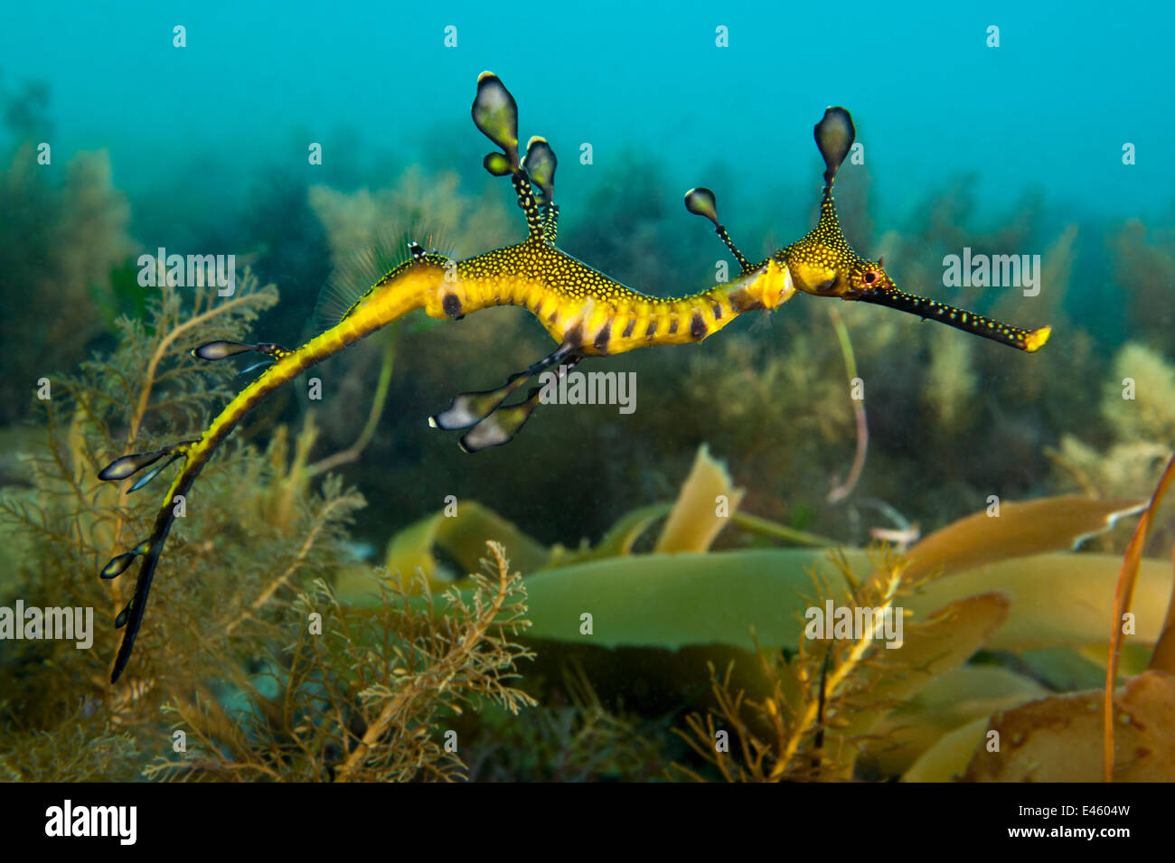 Photo Collection Weedy Seadragon Phyllopteryx Taeniolatus