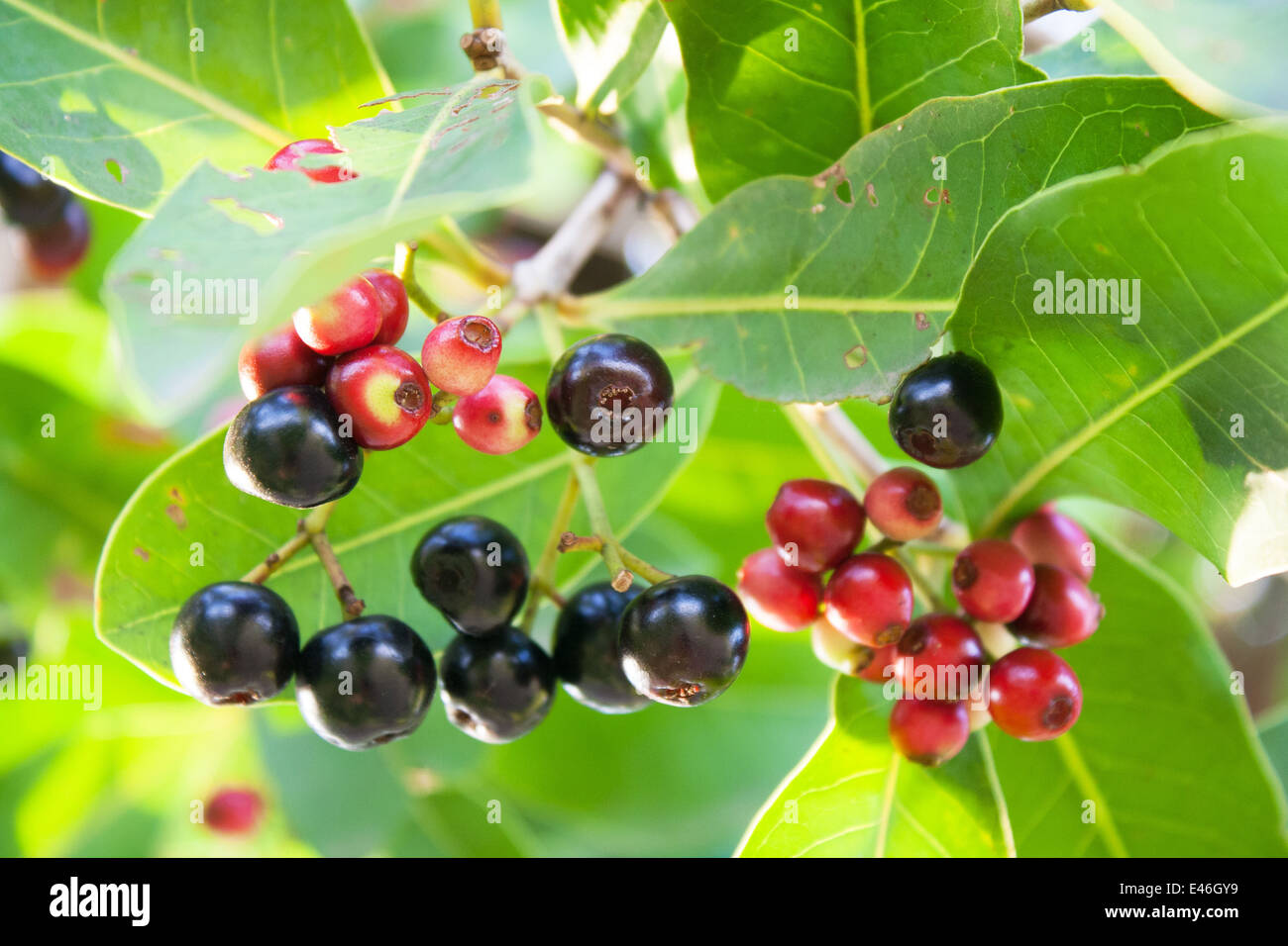 Jambolan plum, Java plum (Syzygium cumini Stock Photo ...