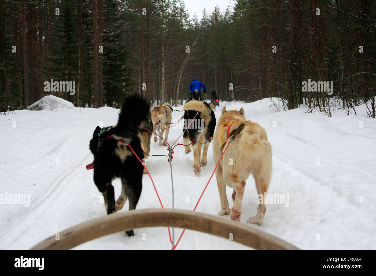 dog sledding with huskies at a husky farm near rovaniemi in