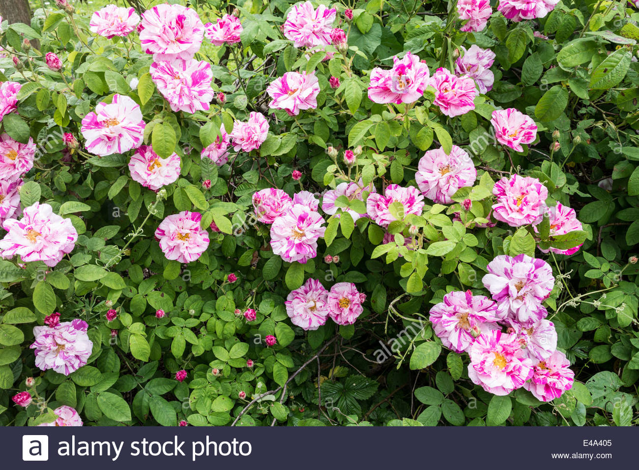 Pink and White Striped Rose Bush - Rosa Mundi Rose - Rosa ...