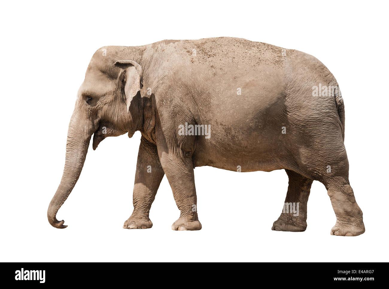 asian elephant female isolated on white background stock