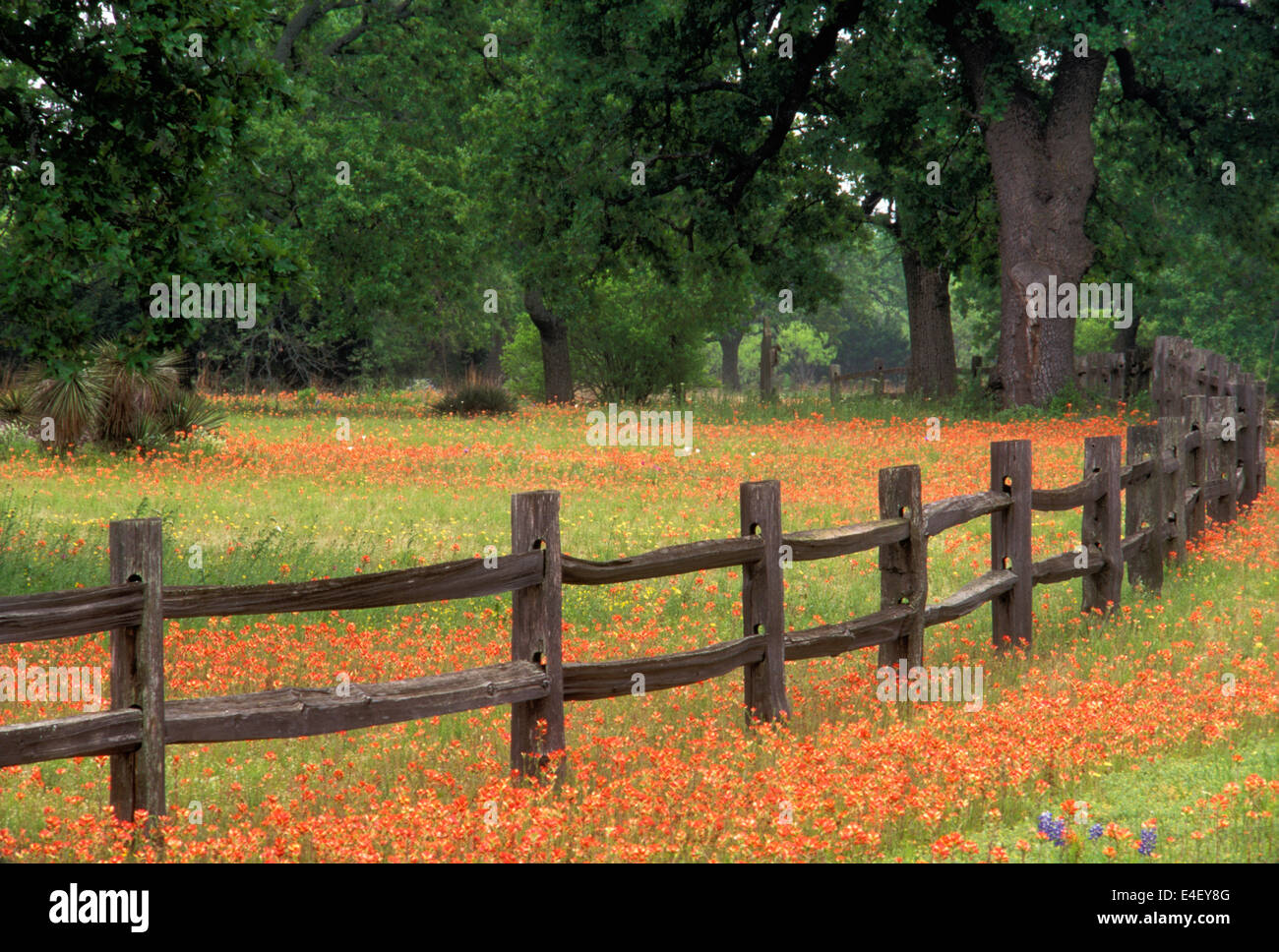 Indian paintbrush and rustic fence in the hill country of texas stock photo royalty free image - Rustic wood fences a pastoral atmosphere ...