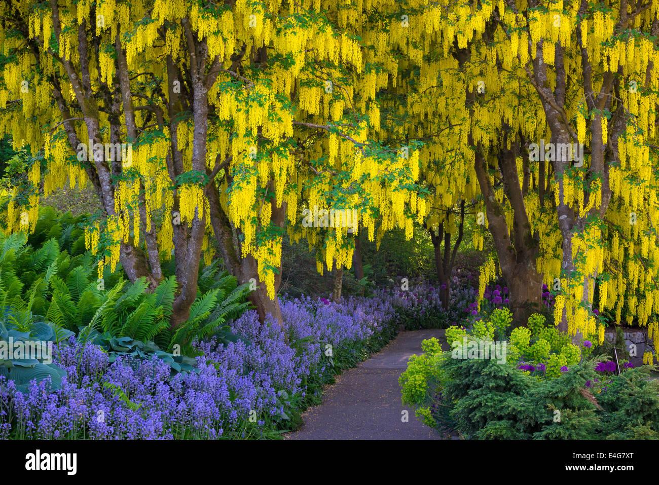 Laburnum golden chain trees purple alliums and blue