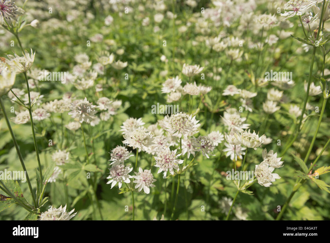 Mass of white flowers full bloom of herbaceous perennial mass of white flowers full bloom of herbaceous perennial masterwort on sunny summer day in victorian cottage garden dhlflorist Image collections