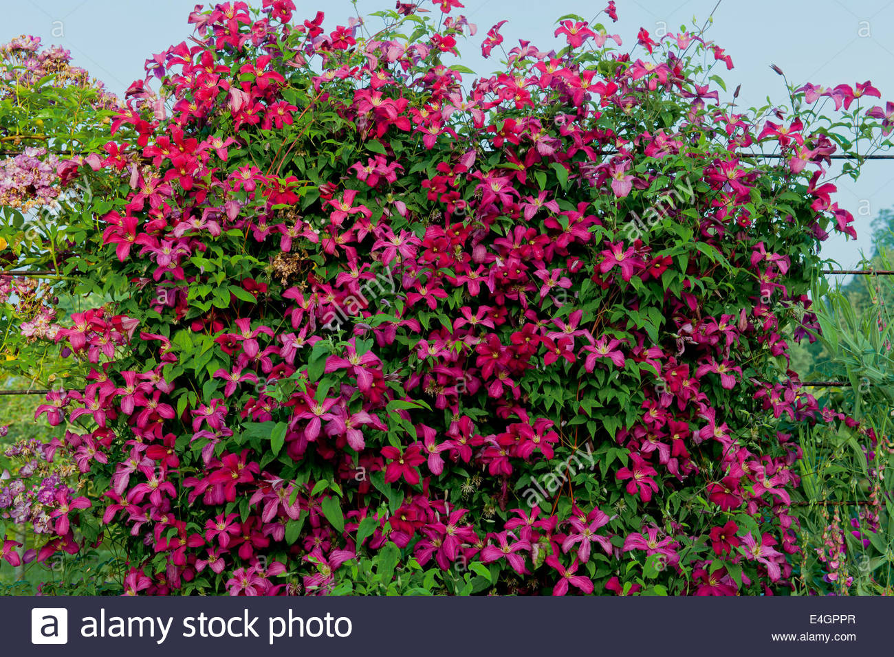 Clematis madame julia correvon climbing fence divider west for Climbing flowering plants for fences