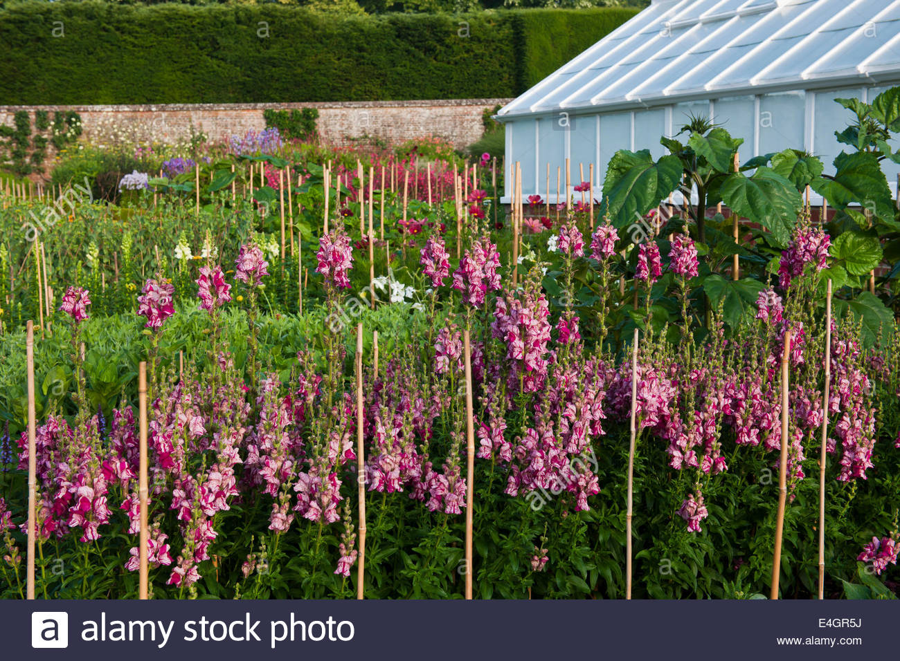 cut flowers rows growing West Dean walled garden Sussex