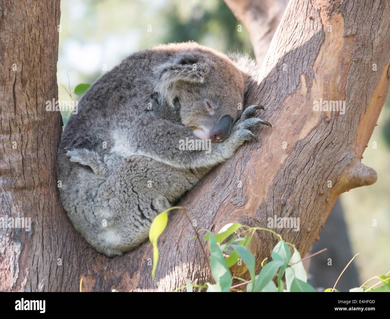 koala bear sleeping in the tree branches stock photo royalty free