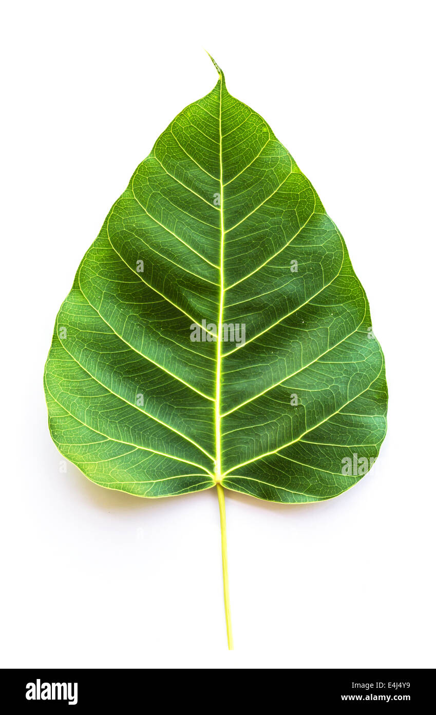 texture bodhi or sacred fig leaf on white background stock photo